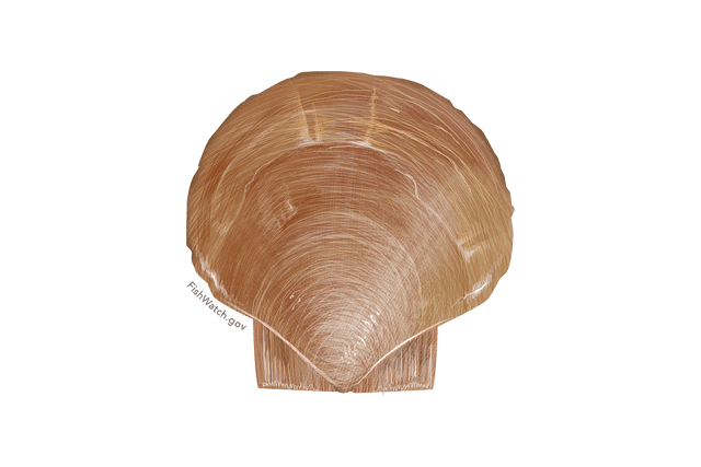 Atlantic Sea Scallop